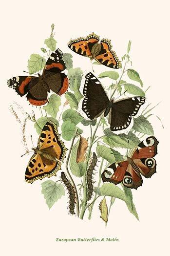 Buyenlarge European Butterflies And Moths Graphic Art Print Wayfair