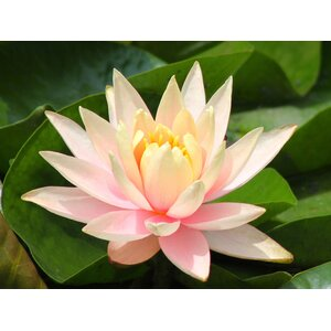 'Purity Lotus Flower' Photographic Print on Canvas by Latitude Run