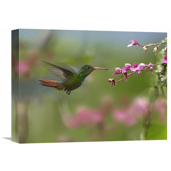 Nature Photographs Rufous-Tailed Hummingbird Hovering Near Flower, Ecuador by Tim Fitzharris Photographic Print on Wrapped Canvas by Global Gallery