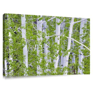 'Aspen Trees with New Spring Growth' by Dennis Frates Photographic Print on Canvas by Colossal Images