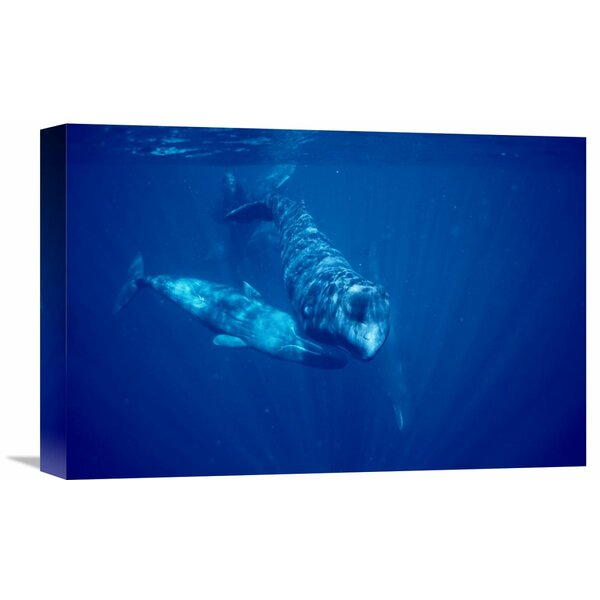 Nature Photographs Sperm Whale Social Group Underwater, Dominica Photographic Print on Wrapped Canvas by Global Gallery