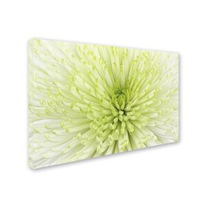 Lime Light Spider Mum by Cora Niele Photographic Print on Wrapped Canvas by Trademark Fine Art