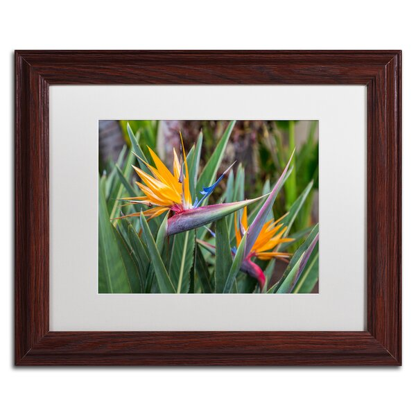 Two Birds of Paradise by Pierre Leclerc Framed Photographic Print by Trademark Fine Art