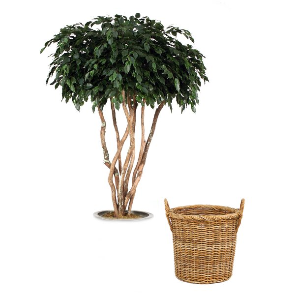 Canopy Ficus Tree in Basket by Distinctive Designs