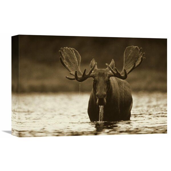 Nature Photographs Moose Male Raising Its Head While Feeding on The Bottom of A Lake, North America by Tim Fitzharris Photographic Print on Wrapped Canvas by Global Gallery