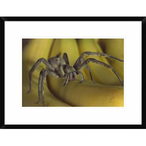 'Hunting Spider Or Banana Spider Walking on Bananas, Native To Central America' Framed Photographic Print by Global Gallery
