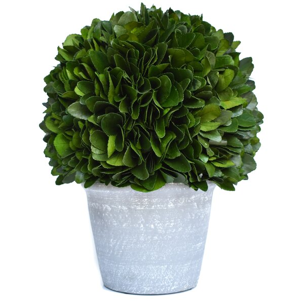 Preserved Laurel Ball Desktop Topiary in Pot by Alcott Hill