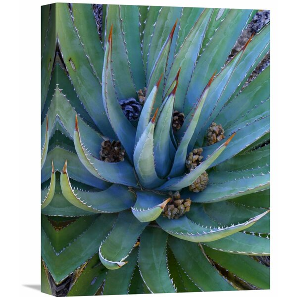 Nature Photographs Agave Plants with Pine Cones, North America by Tim Fitzharris Photographic Print on Wrapped Canvas by Global Gallery