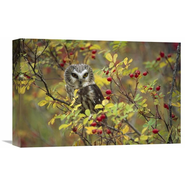Nature Photographs Northern Saw-whet Owl Perching in a Wild Rose Bush, British Columbia, Canada Photographic Print on Wrapped Canvas by Global Gallery