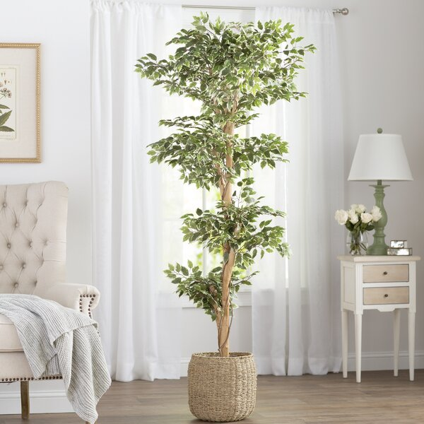 Variegated Ficus Tree In Pot By Darby Home Co.