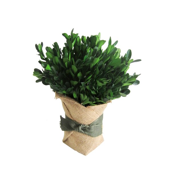 Preserved Boxwood Topiary by Jeco Inc.