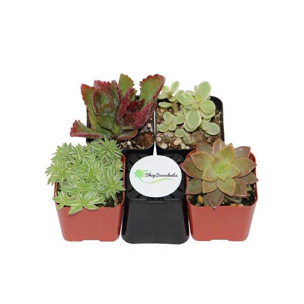 4 Pack Assorted Succulent Desk Top Plant in Pot by ShopSucculents