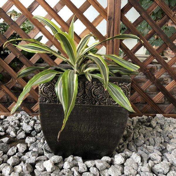 Burford Square Fancy Rim Pot Planter by Fleur De Lis Living