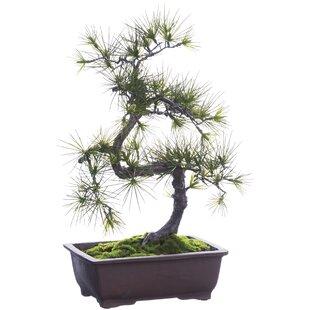 Bonsai Tree Indoor Plants You\'ll Love | Wayfair