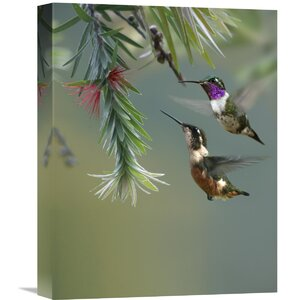 Nature Photographs White-bellied Woodstar Hummingbird Male and Female Feeding on Flower, Costa Rica Photographic Prin... by Global Gallery