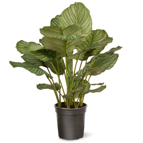 Calathea Floor Foliage Plant in Pot by Mercury Row
