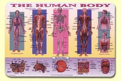 Human Body Placemat (Set of 4) by Painless Learning Placemats