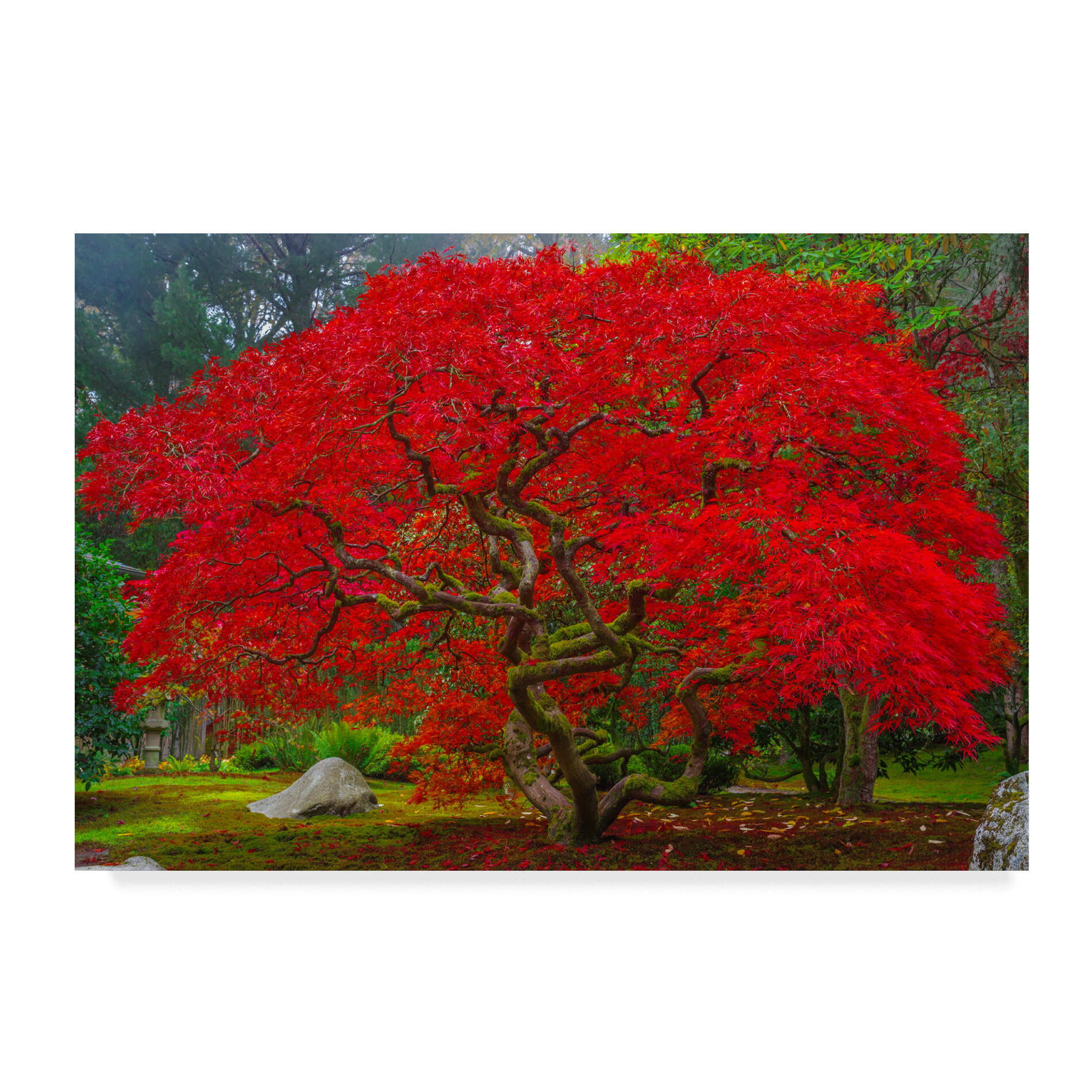 Trademark Art Japanese Maple In Autumn Photographic Print On