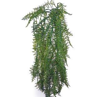 Plumosa Hanging Plant