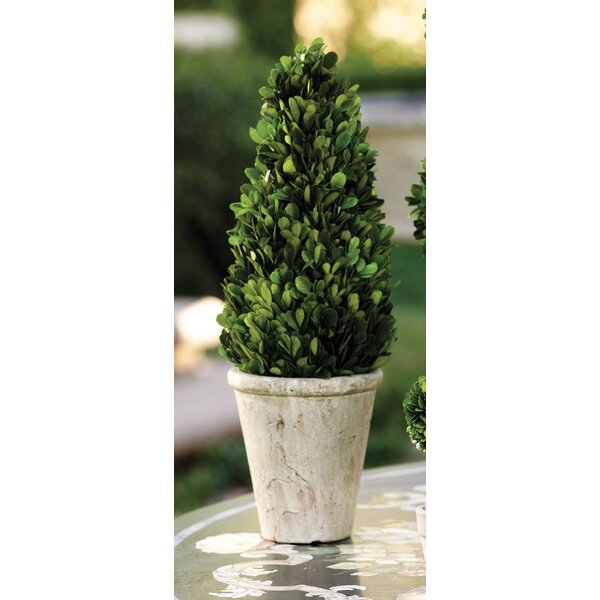 15-inch Tall Cone Shaped Preserved Desk Top Boxwood Topiary by Zodax