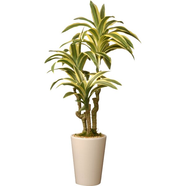 Dracaena Palm Plant in Pot by Mistana