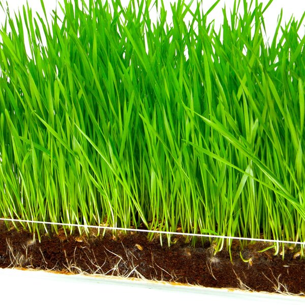 Wheatgrass 3 Pack Refill Growing Kit by Window Garden