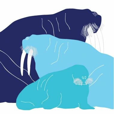Animals Walrus Stretched Canvas Art by Avalisa