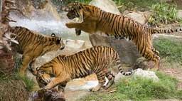 Tiger Gang Glossy Wall Mural by Wallhogs