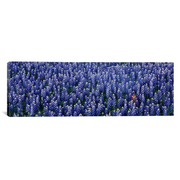Panoramic Bluebonnet Flowers in a Field, Hill County, Texas Photographic Print on Canvas by iCanvas