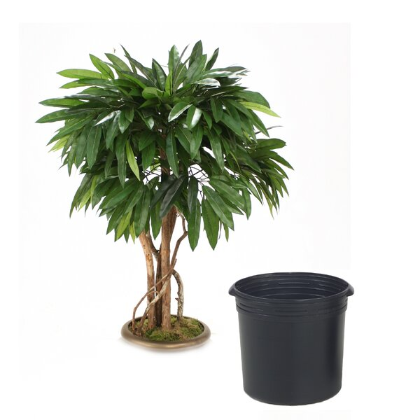 Mango Tree in Planter by Distinctive Designs