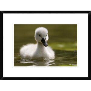 'Mute Swan Chick on the Water' Framed Photographic Print by Global Gallery