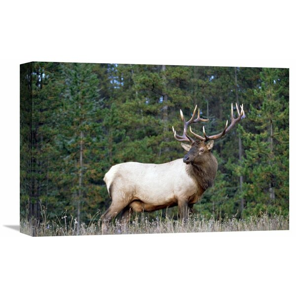 Nature Photographs Elk Or Wapiti Male Portrait, North America by Tim Fitzharris Photographic Print on Wrapped Canvas by Global Gallery