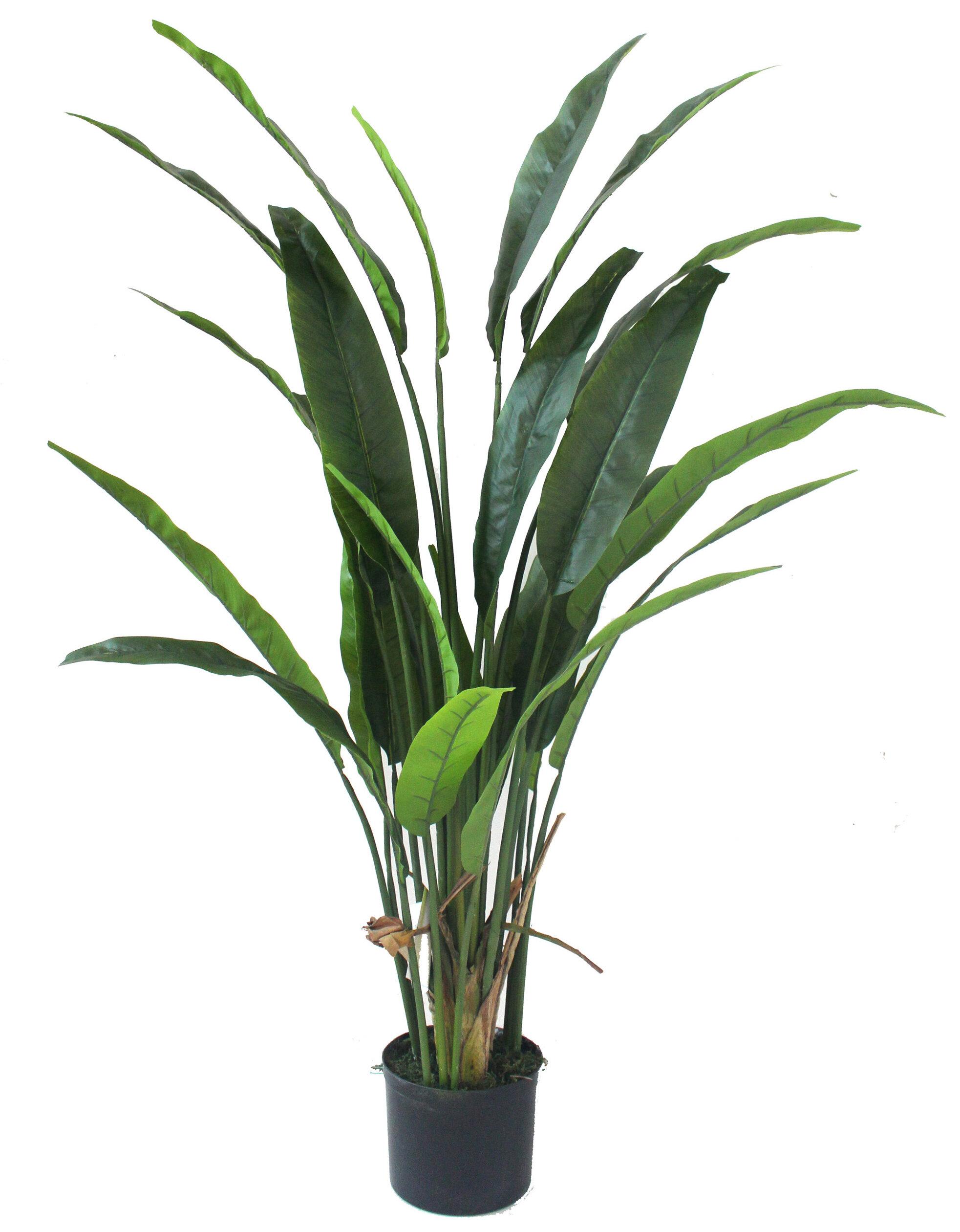 Bird Of Paradise Silk Palm Plant In Pot