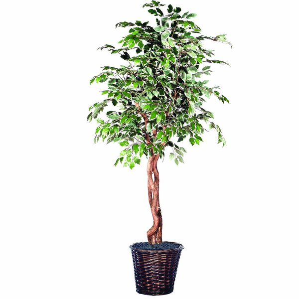 Artificial Varigated Heartland Ficus Foliage Tree in Basket by Red Barrel Studio