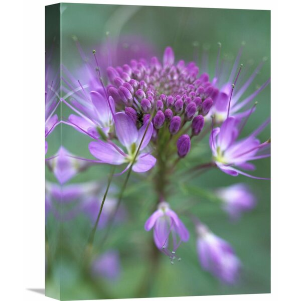 Nature Photographs Rocky Mountain Bee Plant Flower, Great Sand Dunes National Monument, Colorado Photographic Print on Wrapped Canvas by Global Gallery