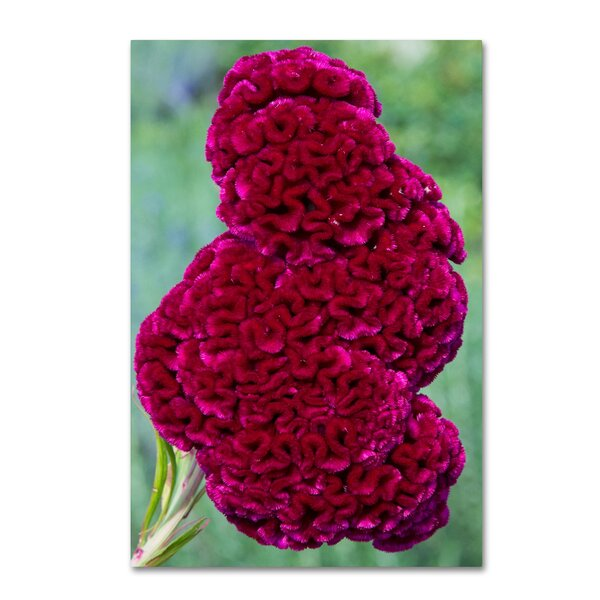 Coxcomb Flower by Kurt Shaffer Photographic Print on Wrapped Canvas by Trademark Fine Art