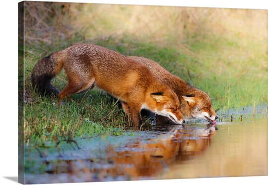 Thirsty by Pim Leijen Photographic Print on Canvas by Canvas On Demand