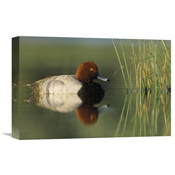 Nature Photographs Redhead Duck Male, Portrait, Moses Lake, Washington by Tim Fitzharris Photographic Print on Wrapped Canvas by Global Gallery