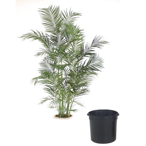 Areca Palm Tree in Planter by Distinctive Designs
