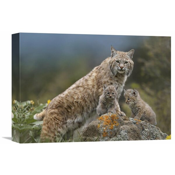 Nature Photographs Bobcat Mother and Kittens, North America by Tim Fitzharris Photographic Print on Canvas by Global Gallery