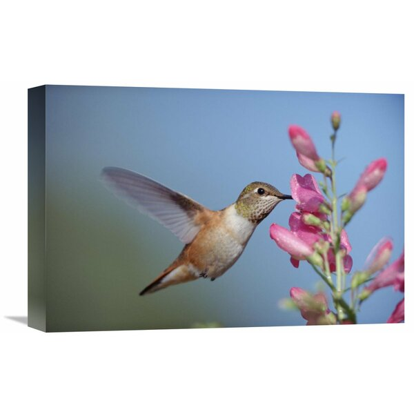 Nature Photographs Rufous Hummingbird Juvenile Feeding on Flowers, New Mexico by Tim Fitzharris Photographic Print on Wrapped Canvas by Global Gallery