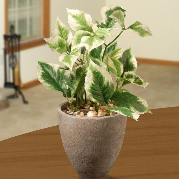 12 Pothos Plant by National Tree Co.