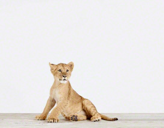 Baby Animals Lion Cub by Sharon Montrose Photographic Print by The Animal Print Shop by Sharon Montrose