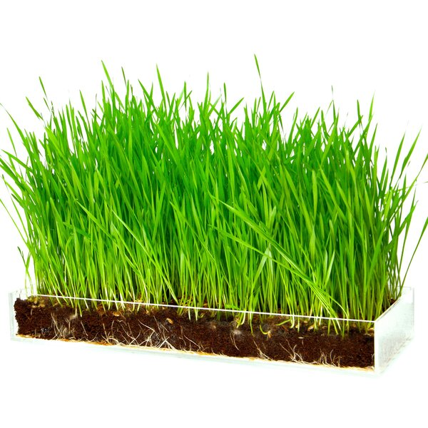 Organic Wheatgrass Growing Kit by Window Garden