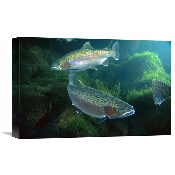 Nature Photographs Rainbow Trout Pair Underwater in Utah by Michael Durham Photographic Print on Wrapped Canvas by Global Gallery