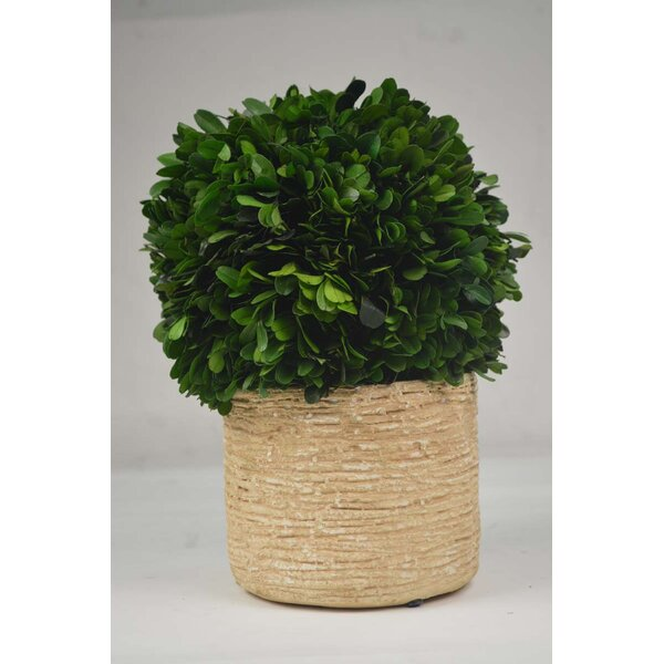 Boxwood Topiary in Planter by GT DIRECT CORP