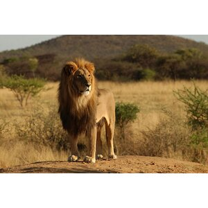 'African Lion' Rectangle Photographic Print on Canvas by East Urban Home