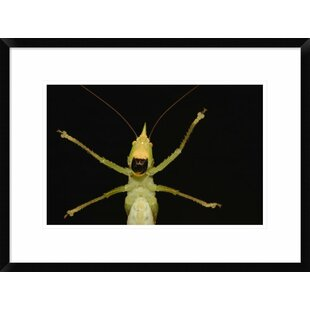 'Katydid Close-Up of Underside' Framed Photographic Print by Global Gallery