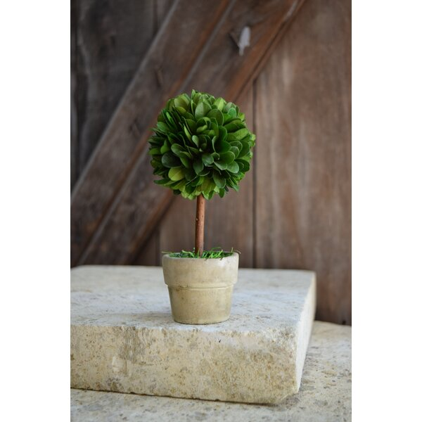 Boxwood Single Mini Topiary in Pot (Set of 4) by Mills Floral