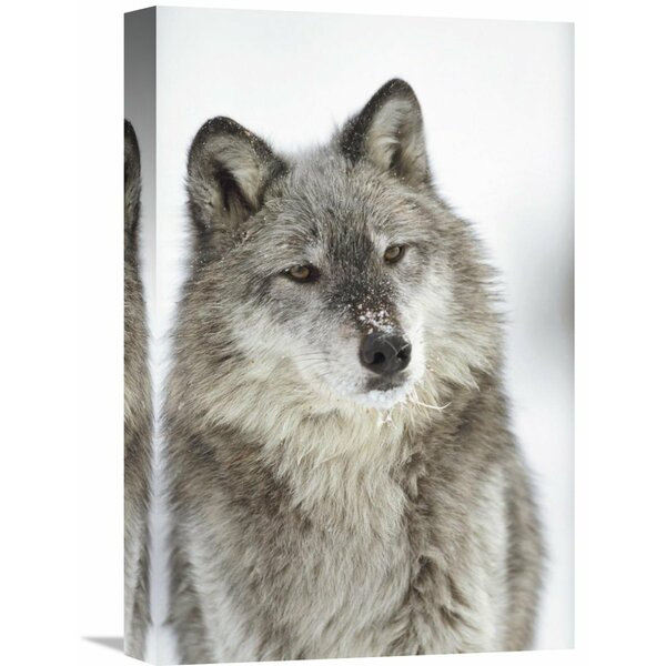 Nature Photographs Timber Wolf Portrait with Snow on Muzzle, Montana by Tim Fitzharris Photographic Print on Wrapped Canvas by Global Gallery